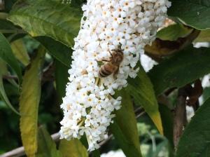 Buddleia bee 1