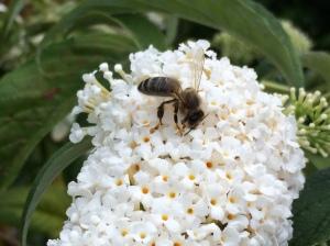Buddleia bee 2