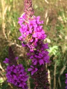 Fireweed bee 1