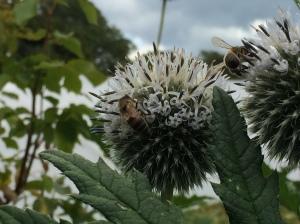 Great Globe Thistle bee 1
