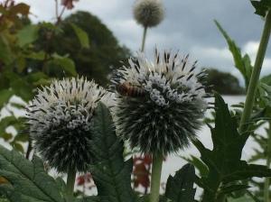 Great Globe Thistle bee 2