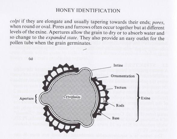 RS pollen Exine